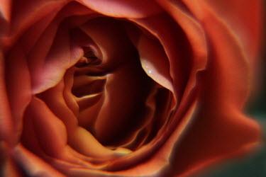 Romina Dughero PETALS OF RED ROSE Flowers/Plants