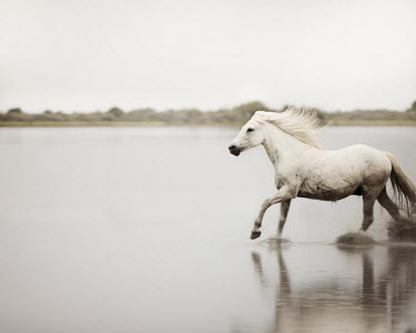 Irene Suchocki WHITE HORSE GALLOPING IN RIVER Animals