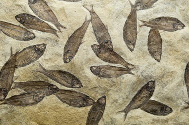 Iain Sarjeant GROUP OF FOSSILISED FISH Fish
