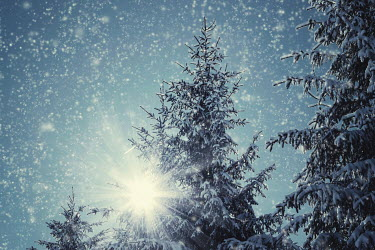 Maja Topcagic SUNLIGHT WITH SNOW AND TREES Trees/Forest