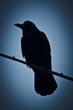 Valentino Sani SILHOUETTE OF BIRD ON BRANCH Birds