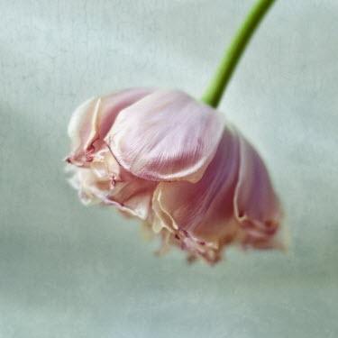 Agnieszka Kielak PINK FLOWER WITH STEM Flowers/Plants