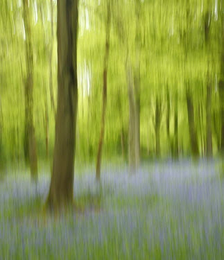 Tony Watson IMPRESSIONISTIC TREES AND BLUEBELLS Trees/Forest
