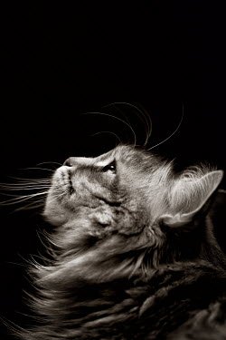 Mashael Hamad AlShuwayer HEAD OF CAT LOOKING UPWARDS Animals