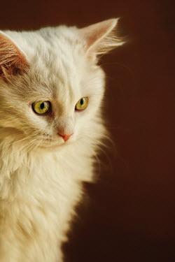 Mashael Hamad AlShuwayer CUTE WHITE FLUFFY CAT Animals