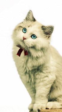 Mashael Hamad AlShuwayer CUTE WHITE CAT WITH BOW Animals