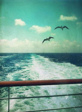 Mark Owen SEAGULLS FOLLOWING BOAT AT SEA Birds