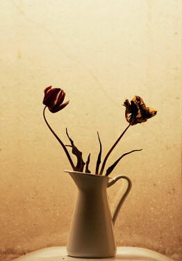 Nilufer Barin WILTED TULIPS IN WHITE JUG Flowers/Plants