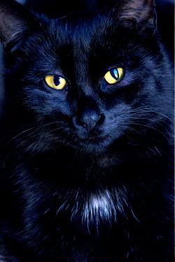 Jitka Saniova DARK CAT WITH YELLOW EYES Animals