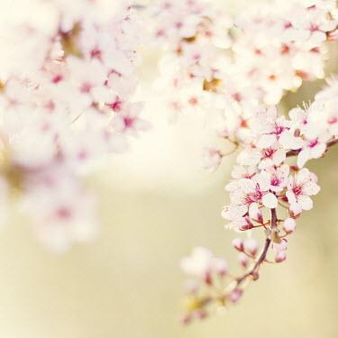 Jenn DiGuglielmo PRETTY PINK BLOSSOM Flowers/Plants