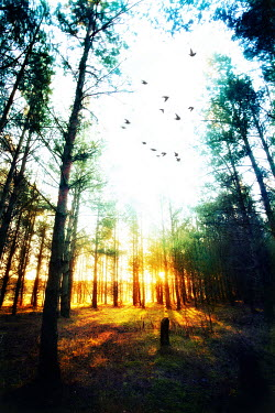 Tim Daniels BIRDS AND FOREST AT SUNSET Trees/Forest