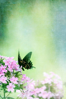 Stephanie Frey SWALLOWTAIL BUTTERFLY ON FLOWERS Insects