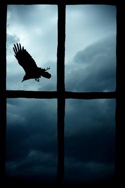 Valentino Sani SILHOUETTE OF CROW THROUGH WINDOW Birds