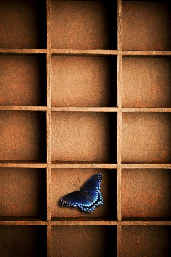 Valentino Sani BUTTERFLY IN PIGEON HOLE Insects