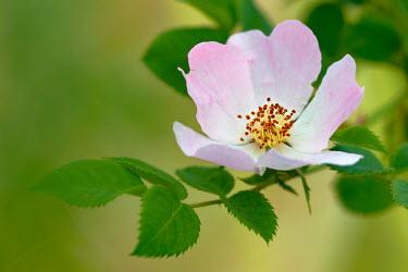 Vitali Bolucevschi DELICATE PINK ROSE Flowers/Plants