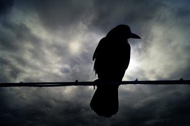 Valentino Sani CROW SITTING ON CABLE Birds
