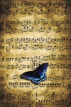 Valentino Sani BUTTERFLY ON MUSIC SCORE SHEET Insects