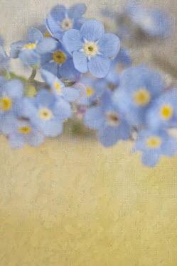 Jill Ferry FORGET-ME-NOT FLOWERS Flowers