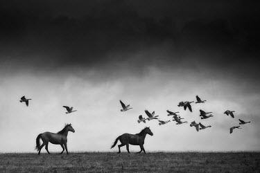 John Race HORSES AND GEESE Animals
