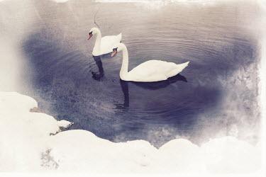 Sarah Louise Johnson SWANS ON LAKE IN SNOW Birds