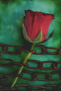 Peter Hatter ROSE AND CHAINS Flowers