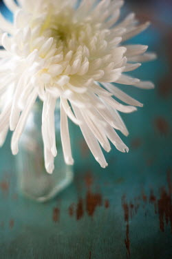Susan Fox WHITE CHRYSANTHEMUM FLOWER Flowers