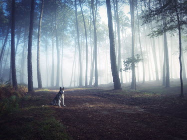 Guillermo Rodriguez Carballa HUSKY DOG IN MISTY FOREST Animals