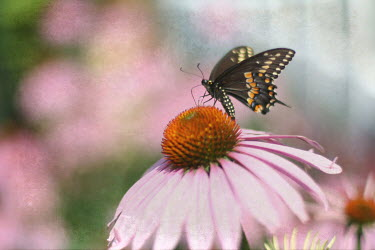 Pamela Schmieder BUTTERFLY ON PINK FLOWER Insects