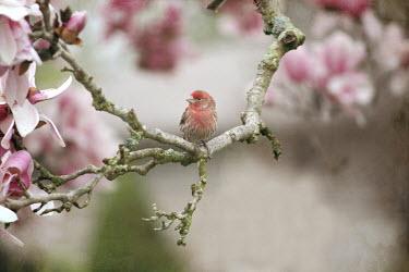 Pamela Schmieder PINK BIRD ON MAGNOLIA TREE Birds
