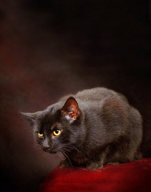 Metra Stelmahere CAT PERCHED ON RED FABRIC Animals