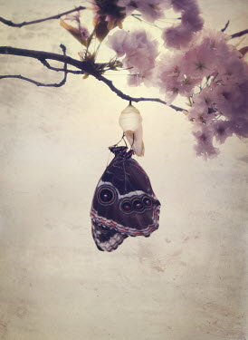 Mark Owen BUTTERFLY EMERGING FROM CHRYSALIS ON CHERRY BLOSSOM TREE Insects