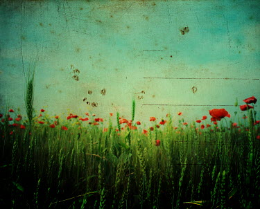 Raluca Deca FIELD OF POPPIES AND WHEAT Fields