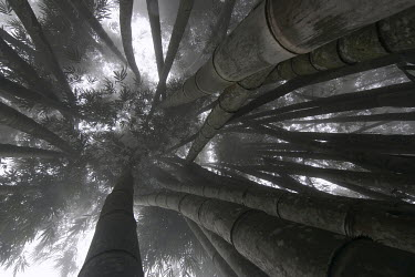 Franck Losay BAMBOO PLANTS FROM BELOW Trees/Forest