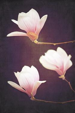 Lisa Bonowicz THREE MAGNOLIA FLOWERS Flowers/Plants