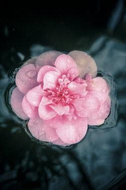 Nic Skerten BEAUTIFUL PINK FLOWER FLOATING ON WATER Flowers