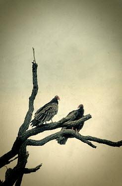 Jill Battaglia TWO VULTURES ON DEAD TREE Birds