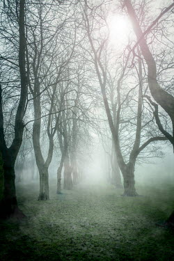 John Cooper TREES IN MISTY FOREST Trees/Forest
