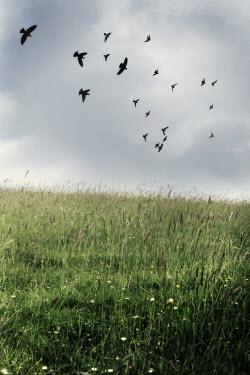 Annalisa Khan BIRDS FLYING OVER FIELD Birds