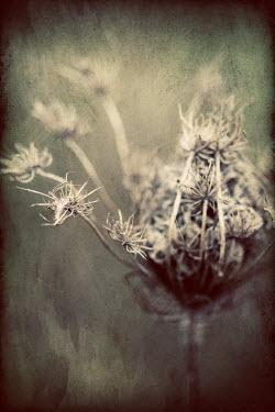 Jude McConkey DRIED PLANT Flowers/Plants