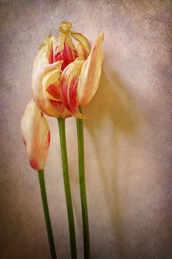 Jude McConkey THREE TULIPS Flowers