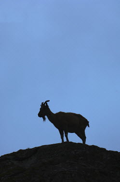 Iain Sarjeant SILHOUETTE OF GOAT ON HILLTOP Animals