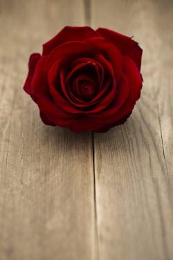 Joanna Jankowska BEAUTIFUL RED ROSE Flowers