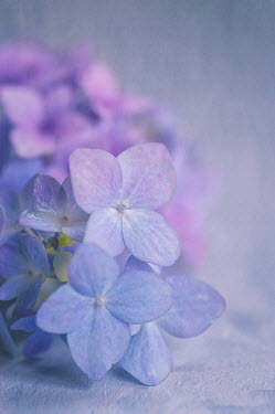 Jill Ferry BLUE AND VIOLET HYDRANGEA FLOWERS Flowers