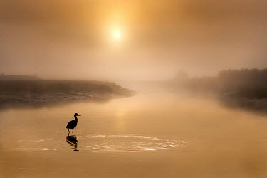 Adrian Leslie Campfield BIRD IN RIVER AT MISTY SUNRISE Birds