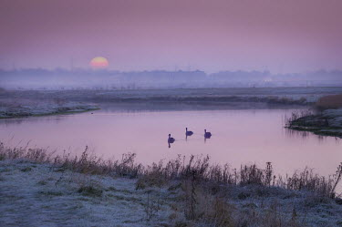 Adrian Leslie Campfield THREE SWANS ON RIVER AT SUNRISE Birds