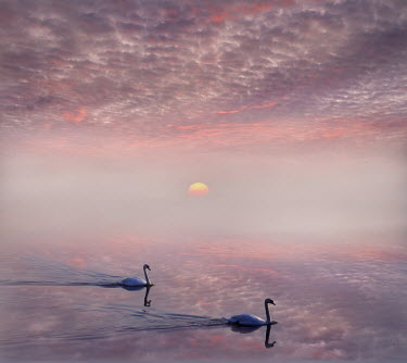 Adrian Leslie Campfield PAIR OF SWANS ON RIVER AT SUNRISE Birds