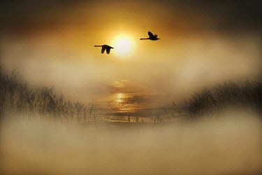 Adrian Leslie Campfield SWANS FLYING OVER MISTY RIVER AT SUNRISE Birds