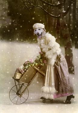 Martine Roch DOG ON ROLLER SKATES PUSHING WHEELBARROW IN SNOW Animals