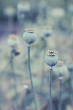 Dirk Wustenhagen FIELD OF POPPY HEADS Flowers/Plants