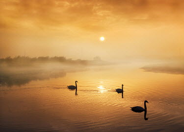 Adrian Leslie Campfield SWANS ON RIVER AT SUNRISE Birds